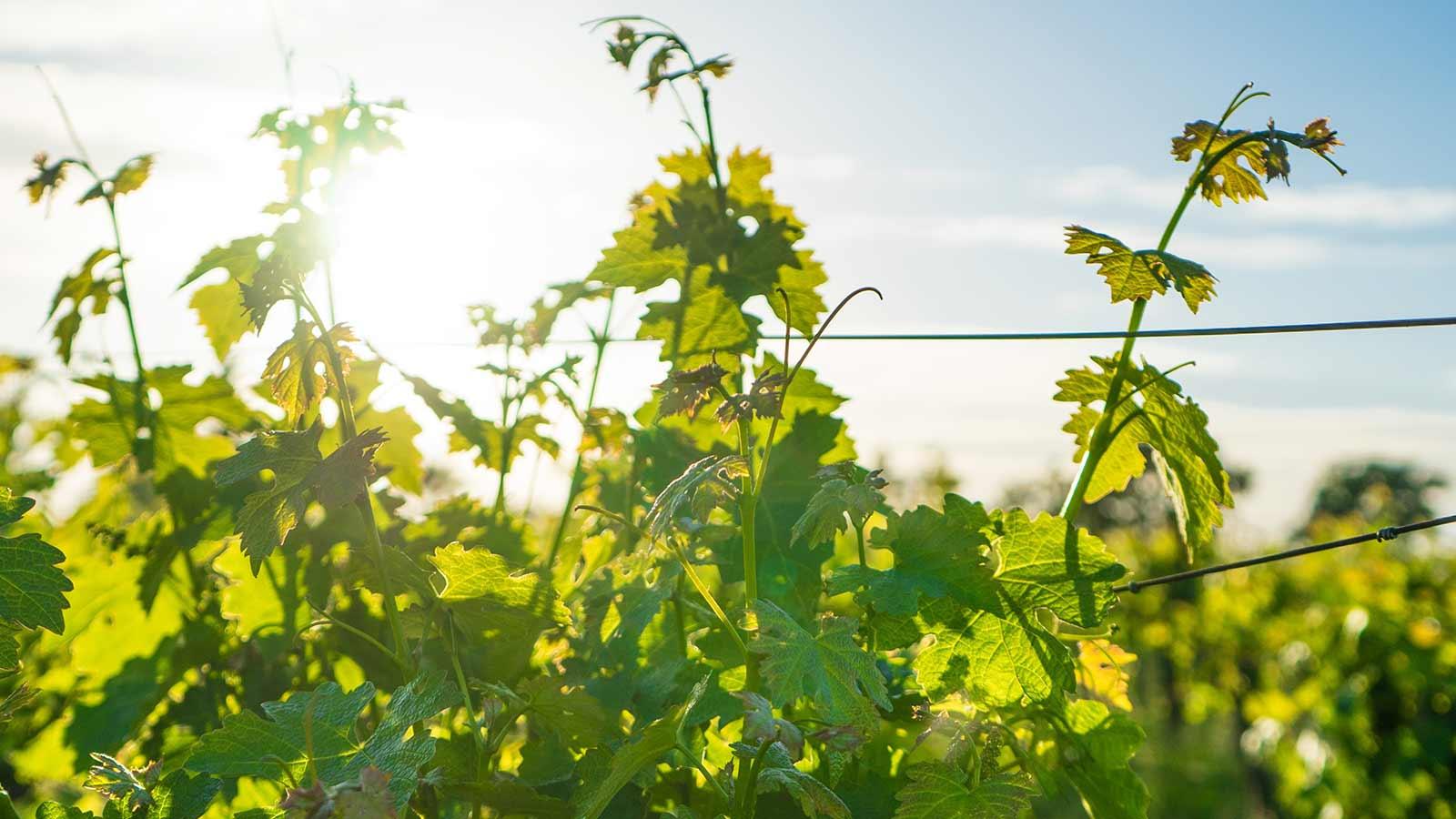 Atascadero news cover vineyards