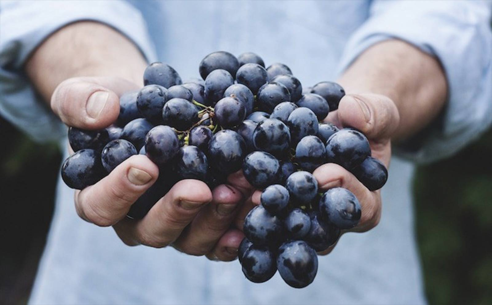 Person Holding Bunch of Grapes